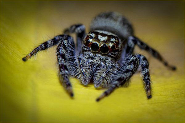 POpen-GOLD-A-278-6mm Jumping Spider on Leaf