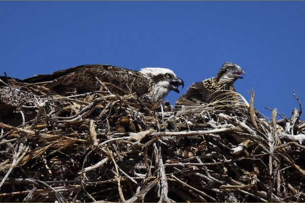 Open-A-299-Osprey and Chick