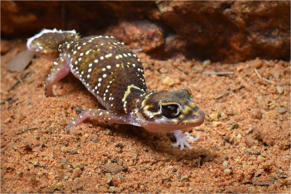 POpen-A-328-Desert Gecko Stepping out