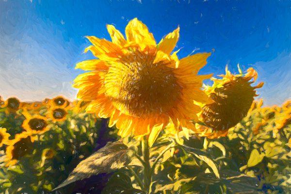 PSet-AB-444-Vangogh Sunflowers