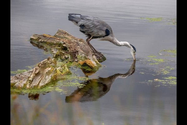 21_Heron Reflection_50