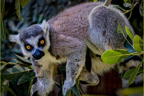 Open-GOLD-A-278-Arboreal Lemur