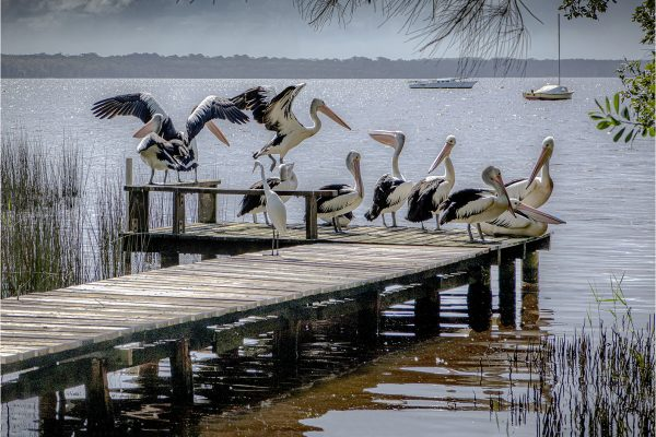 POpen-GOLD-A-278-Pelicans on Jetty