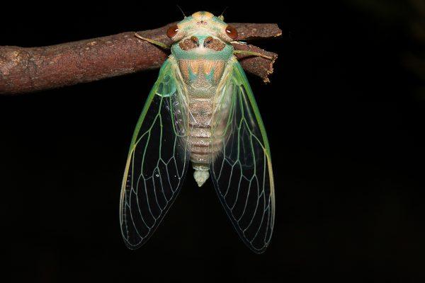 Open-A-47-Emergent Cicada