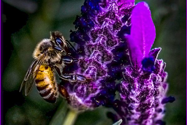 Open-GOLD-A-278-Wild Bee on Purple Lavender