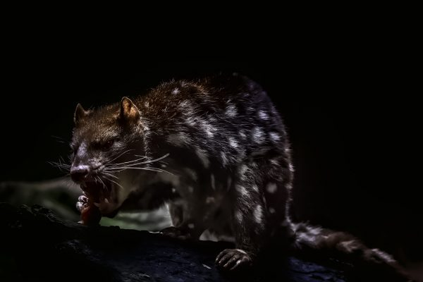 Open-GOLD-A-448-spotted quoll
