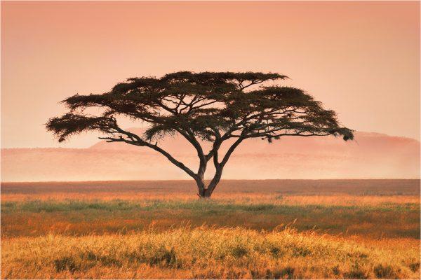 POpen-A-328-Acacia Tree Kenya