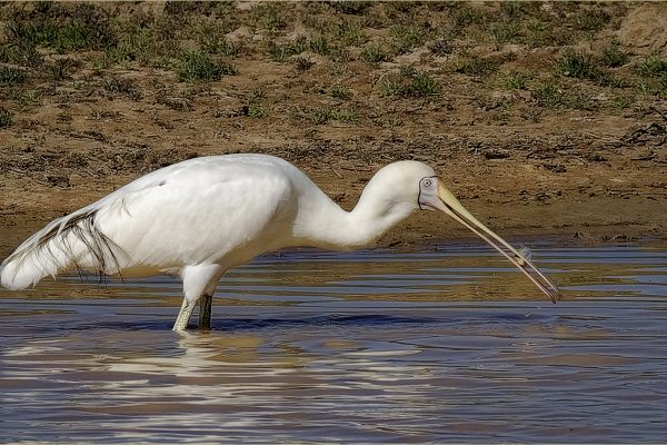 POpen-GOLD-A-299-Spoonbill With Fish
