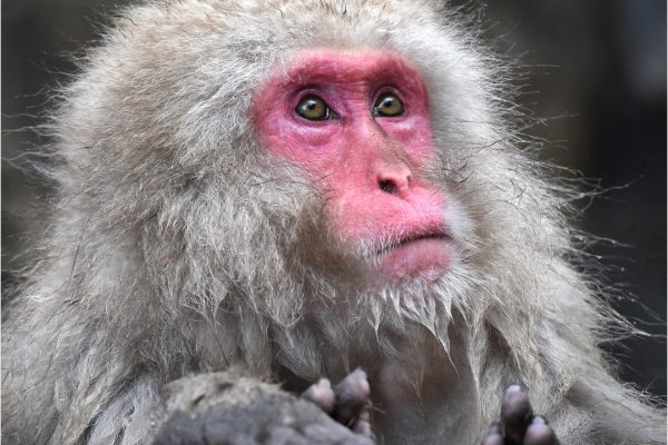 POpen-GOLD-A-328-Snow Monkey in Hot Spring