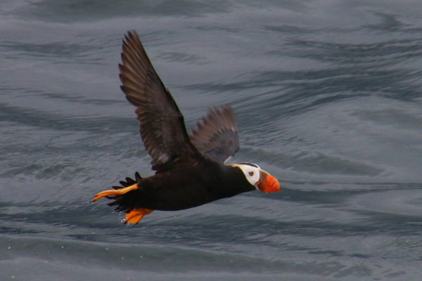 Tufted puffin or crested puffin (Fratercula cirrhata)