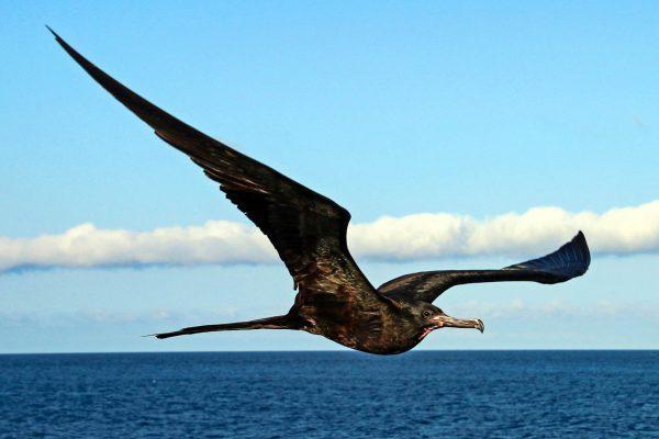 Male frigatebird (Fregata sp.)